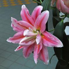 Lilium 'Roselily Felicia' - Diese Lilie eignet sich für den Garten, aber auch prima als Topfpflanze für Ihre Terrasse. Gepflanzt wird sie als Blumenzwiebel im Winter. Online erhältlich bei fluwel.de