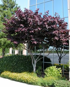Cercis canadensis 'Forest Pansy' m - roze bloemen, purper blad, herfst oranje / rood Deciduous Trees, Trees And Shrubs, Flowering Trees, Acer Trees, Landscape Architecture, Landscape Design, Garden Design, Landscaping Plants, Front Yard Landscaping