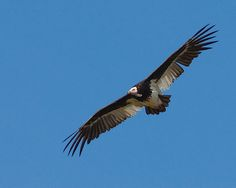 Abutre-de-cabeça-branca / White-headed vulture | Flickr - Photo Sharing!