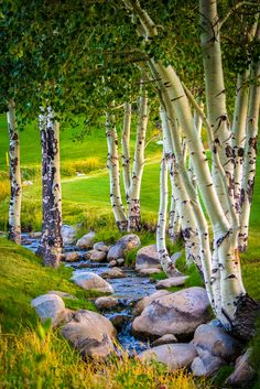 These trees right here are my favorite. No tree is quite as beautiful to me as an aspen tree