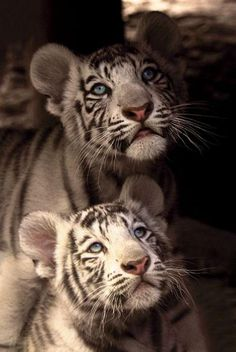 chats sauvages, deux tigres blancs