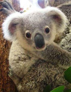 I wanna pet a koala