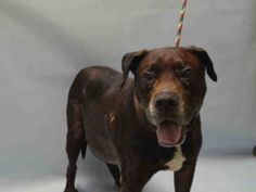 Brooklyn Center GOOBER – A1084161 MALE, BLACK / WHITE, LABRADOR RETR MIX, 7 yrs STRAY – STRAY WAIT, NO HOLD Reason STRAY Intake condition EXAM REQ Intake Date 08/04/2016, http://nycdogs.urgentpodr.org/goober-a1084161/