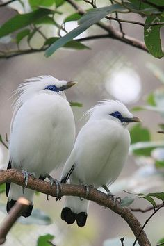 "'What a Pair' - Bali Mynah birds, Lazar Wolf and Yenta from ""Ms.& Chic"" short story by Nancy Goldberg Levine Kinds Of Birds, All Birds, Love Birds, Most Beautiful Birds, Pretty Birds, Beautiful Beautiful, Beautiful Creatures, Animals Beautiful, Cute Animals"