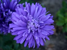 aster flower pictures - Yahoo Search Results