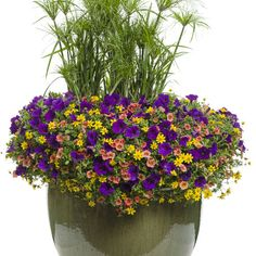 Proven Winners - Summerfest with Thriller combination container recipe containing Goldilocks Rocks® - Bidens ferulifolia, Supertunia® Royal Velvet (Retired. Container Flowers, Flower Planters, Garden Planters, Flower Pots, Potted Flowers, Outdoor Flowers, Purple Plants, Pink Plant, Types Of Flowers