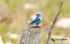Mountain Bluebird, Bluebird Pictures, Bird Images, Mountain Bluebird Fine Art Prints, Bird Photo Décor, Nature Photos, Wildlife Photography.