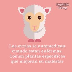 sheep, ovejas, animales, animals sheep medicate when they are sick.They eat specific plants to improve their condition