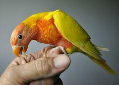 Lot 32 Lutino Rainbow cock bird PK 1834 Bronze - Listing # 8359