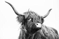 Scottish highlander on canvas - Schotse Hooglander op canvas Scottish highlander on canvas - Scottish Highland Cow, Highland Cattle, Farm Animals, Animals And Pets, Cute Animals, Cow Pictures, Animal Pictures, Black Whiskey, Fluffy Cows