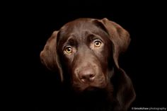 The sweet eyes of chocolate #labrador, who want to #pet him? [ from Frank by Gary Brookshaw on 500px ]