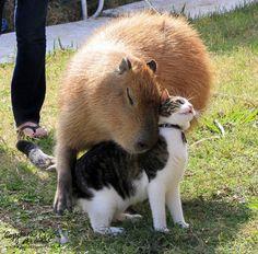 E elas amam gatos. | 18 fotos de capivaras sendo muito amigáveis