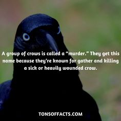 """A group of crows is called a """"murder."""" They get this name because they're known for gather and killing a sick or heavily wounded crow. Crow Facts, Raven Facts, Animal Facts, My Animal, Funny Animals, Cute Animals, Animals Beautiful, Group Of Crows, Counting Crows"""