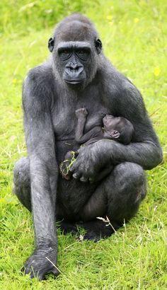 """The first Western Lowland Gorilla born at the Belfast Zoo in 16 years is being called a """"little miracle"""" because his father was thought to be infertile. Baby Animals Pictures, Cute Baby Animals, Iron Lion Zion, Silverback Gorilla, Baby Gorillas, Ape Monkey, Mountain Gorilla, Human Babies, Happiness"""
