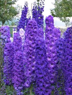 Blue Perennials For Shade | Blue Sky Nursery // Perennials // Delphinium elatum PAGAN PURPLES