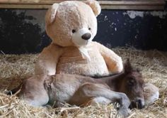 All Babies Need A Teddy Bear -- Even Horses  ... from PetsLady.com ... The FUN site for Animal Lovers