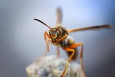 New study shows paper wasps rapidly evolved ability to identify individual faces among their peers, something that most other insects cannot do. The paper wasp Polistes fuscatus developed this ability within the last few thousand years, researchers say. General Biology, Genetic Variation, Medical Questions, Career Choices, Text Pictures, Facial Recognition, Wasp, Insects, Faces