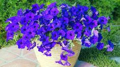 11 Modern Petunias to Try