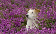 animals-dogs-meadows-purple-flowers-1920x1200-wallpaper.jpg (1920×1200)