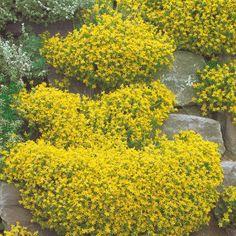 Pflanzen-kölle Johanniskraut Gelb, 9 Cm Topf. Das Pflegleichte ... Gelb Bluhende Stauden Steingarten