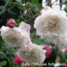 Little White Pet #2 - Weiss - Chinarosen - Historische_Rosen - Container - Rosen von Schultheis