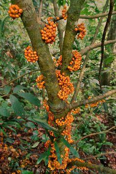 Fruiting fig tree, Mt Kinabalu National Park, Sabah, Borneo