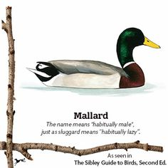 The Mallard is among David Sibley's favorite birds, with a striking color pattern, some great sounds, incredibly adaptable...and those curly tail coverts are truly unique. #mysibleymoment