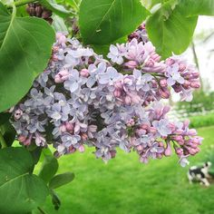 Lilac varieties come in all shapes and sizes, from dwarf shrubs to taller trees: http://www.bhg.com/gardening/flowers/perennials/early-blooming-flowers/?socsrc=bhgpin032114lilac&page=7