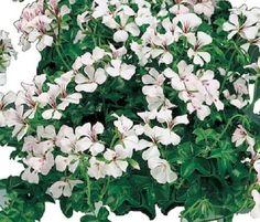 15 Seeds Film Coated Tornado White Geranium Seeds Trailing Geranium Ivy Geranium #New