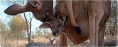 """Képtalálat a következőre: """"kenguru erszény"""""""
