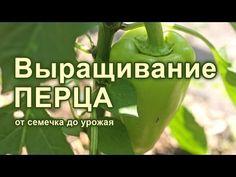 Болгарский перец: общая характеристика, лучшие сорта по сроку созревания, цвету плодов. Особенности посадки и размножения. Рекомендации по формированию растения. Внесение удобрений, полив, защита от болезней и вредителей.