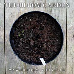 Ranunculus Aviv White www.thebloomgarden.co.uk
