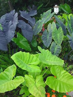 """Lime Zinger Colocasia esculenta Lime Zinger' is the light bulb of the garden with its 2-foot-long, heart-shaped leaves that flutter in the slightest breeze.  With a motto that seems to be """"the hotter, the better,"""" this plant's chartreuse foliage holds its color.  Plants grow as if on steroids, reaching 3 to 5 feet tall with a 4- to 5-foot spread. 'Lime Zinger' performs well in full sun and partial shade and doesn't mind slightly acidic, rich, moist soil."""