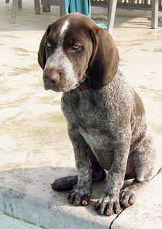 German short hair pointer pup