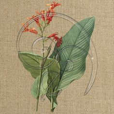 vintage illustration - painting - canna (free download) » Freebies from Enliven Designs