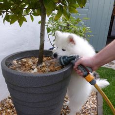 Got to love Tasha's enthusiasm for helping out in the garden. Samoyed puppy.