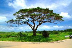シュガーロードの真ん中にある、樹齢240年以上の大きな松の木。1771年の大津波が来たあたりに生えたことから、津波が運んできた松と言われている。
