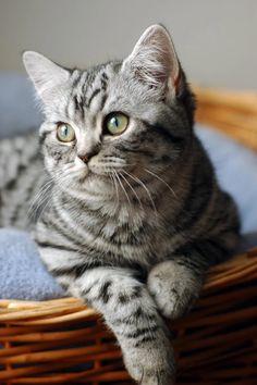 British shorthair cat BRI ns24 64
