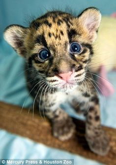 Clouded leopard cubs at the Houston Zoo! So precious...