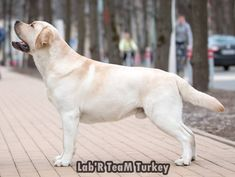 Labrador Retrievers, Labradors, Turkey, Dogs, Animals, Labrador Retriever, Animales, Turkey Country, Animaux