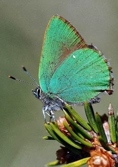 Teal green butterfly - exquisite
