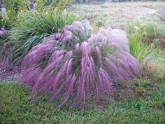 Purple Muhly Grass (Muhlenbergia capillaris) - Grow Purple Muhly Grass from ornamental grass seeds, and enjoy one of the most widely used and admired ornamental grasses. Also known as Gulf Muhly Grass