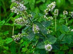 HERB: Spearmint  **HAVE