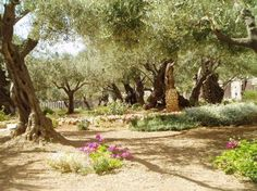 The beautiful Garden of Gethsemane