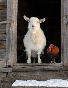 Friends. Love the goat's smile. :-)