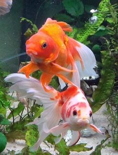 """* * """" Me kin tellz dey put too much dechlor in dis water."""" --------------------[OTHER FISH: """" Justs gill out."""" #TropicalFishAquariumIdeas"""