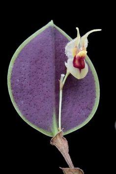 Miniature-Orchid / Micro-orquidea: Lepanthes caloura - Native to southeastern Ecuador Weird Plants, Unusual Plants, Rare Plants, Exotic Plants, Cool Plants, Strange Flowers, Unusual Flowers, Rare Flowers, Amazing Flowers