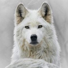 Wolf Old dogs are the best dogs. Arctic Wolf Thats my dog! Wolf Love, Arktischer Wolf, Wolf Pup, Gray Wolf, Grey, Beautiful Creatures, Animals Beautiful, Cute Animals, Wild Animals