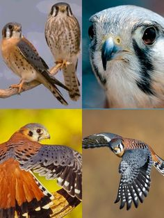 American Kestrel (LC) American Kestrel, Raptors, Hawaii, Birds, Tattoo, Wall Art, Animals, Kestrel, Animales