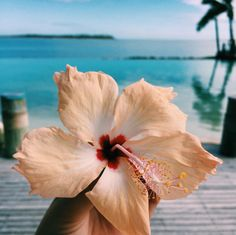 Wherever you look in Fiji there is an abundance of colour, and the tropical flowers are no exception. Home to an abundance of beautiful flora - the iconic yellow hibiscus is an absolute standout. Tropical Flowers, Hawaiian Flowers, Tropical Vibes, Hibiscus Flowers, Tropical Paradise, Pretty Flowers, Yellow Flowers, Yellow Hibiscus, Wallpaper Backgrounds